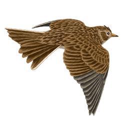 a swift in flight